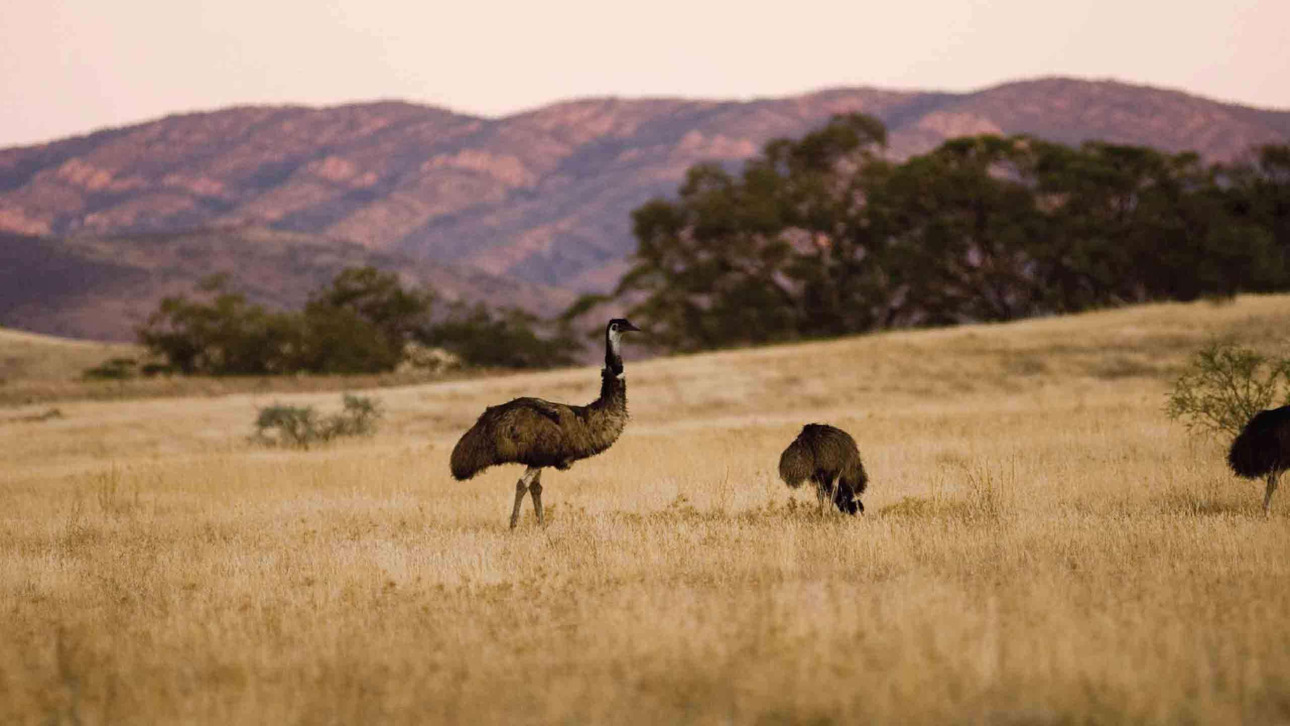 Flinders Ranges Outback to Kangaroo Island Explorer 5D4N, Fully Guided
