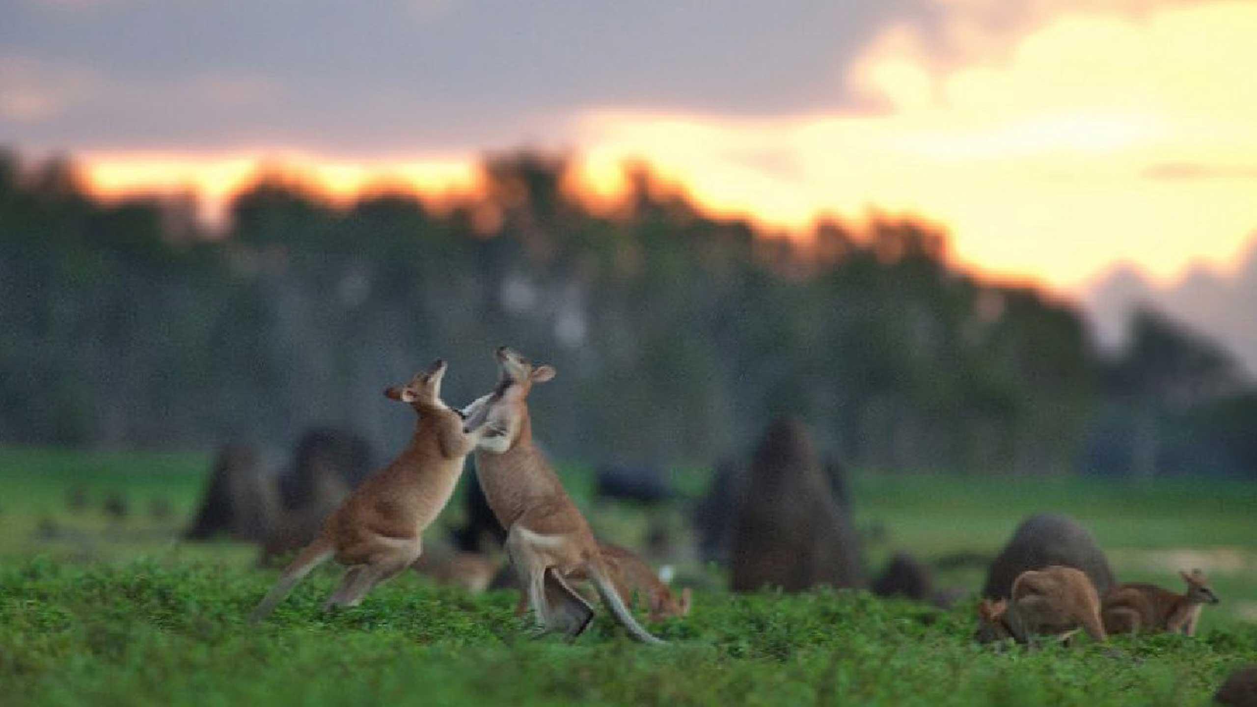 BamurruPlains-kangaroos-