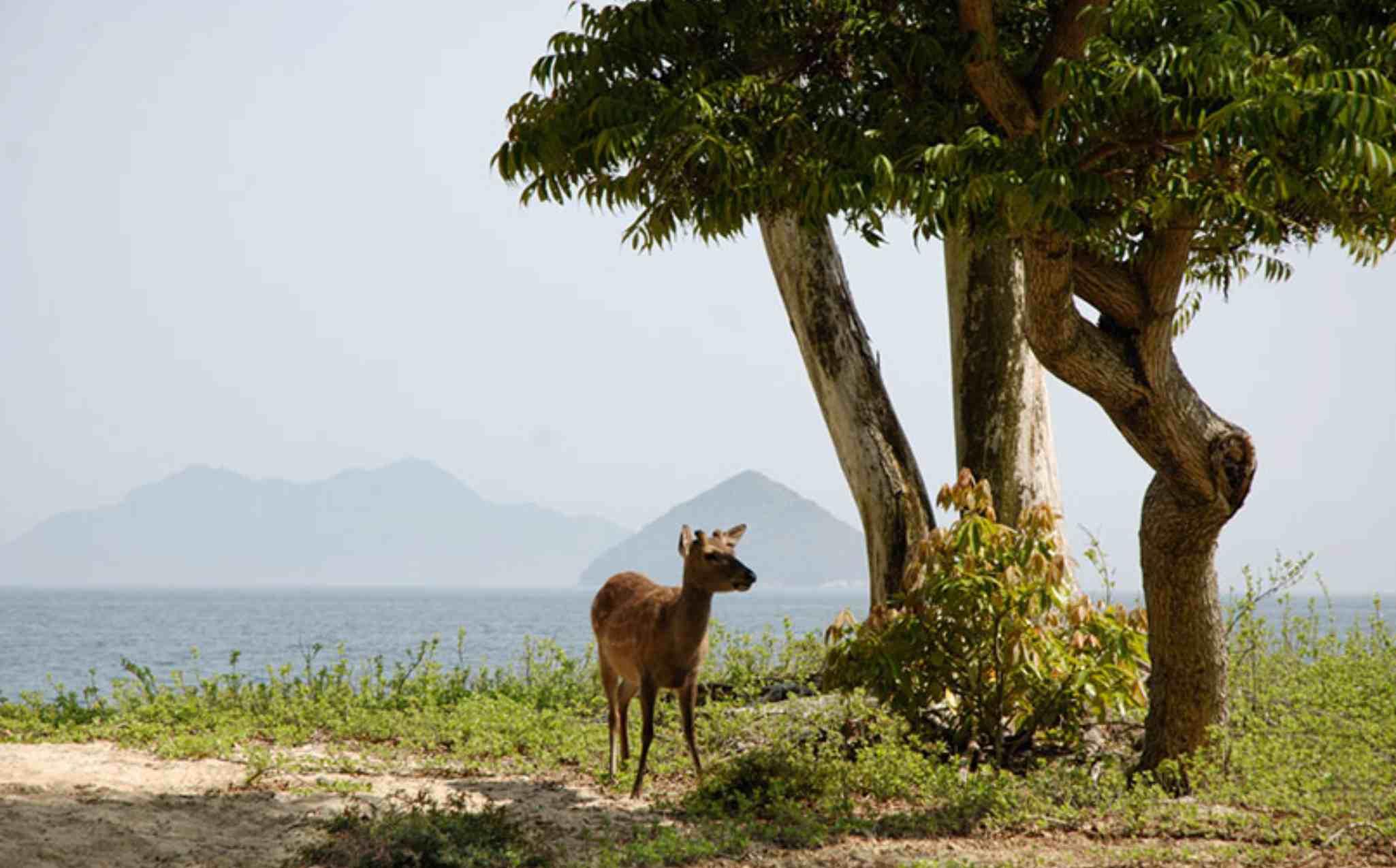 Miyajima Island Deer