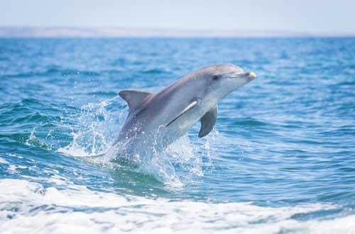 kangaroo-island-south-australia-dolphin-wildlife