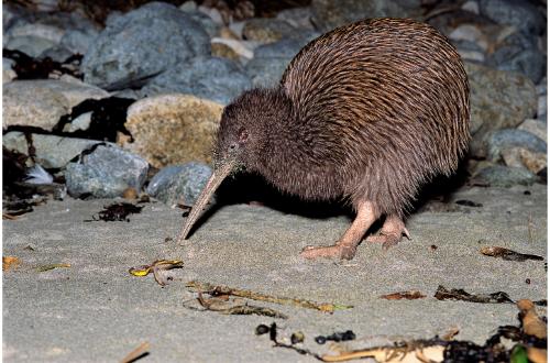 new-zealand-south-coast-stewart-island-kiwi-bird-wildlife