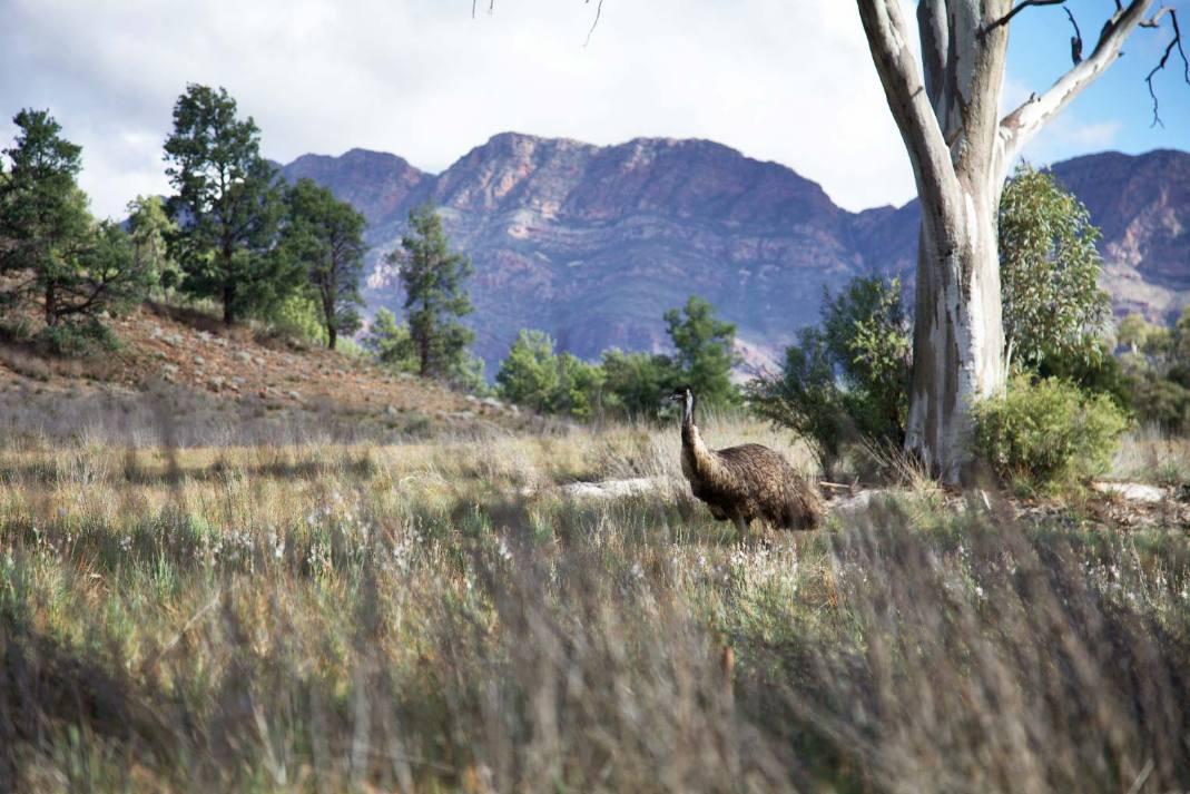 Flinders Ranges Luxury Outback Walk Emu