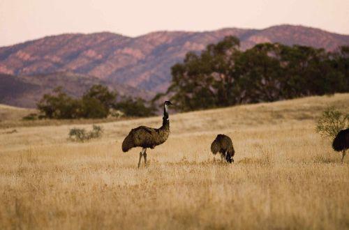 Flinders-Ranges-Australia-Emus