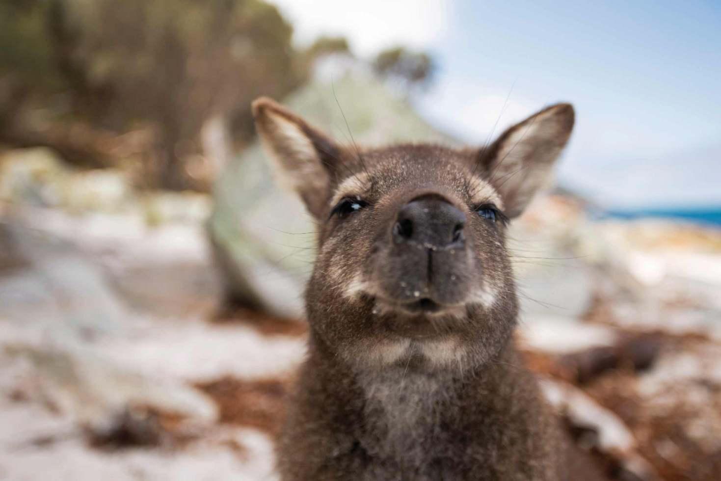 Freycinet National Park Walking Tour Kangaroo
