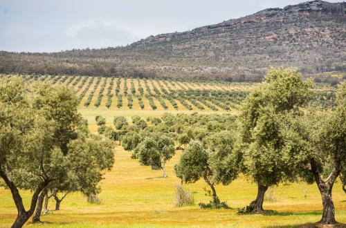 Grampians-Peaks-Trail-olive-grove
