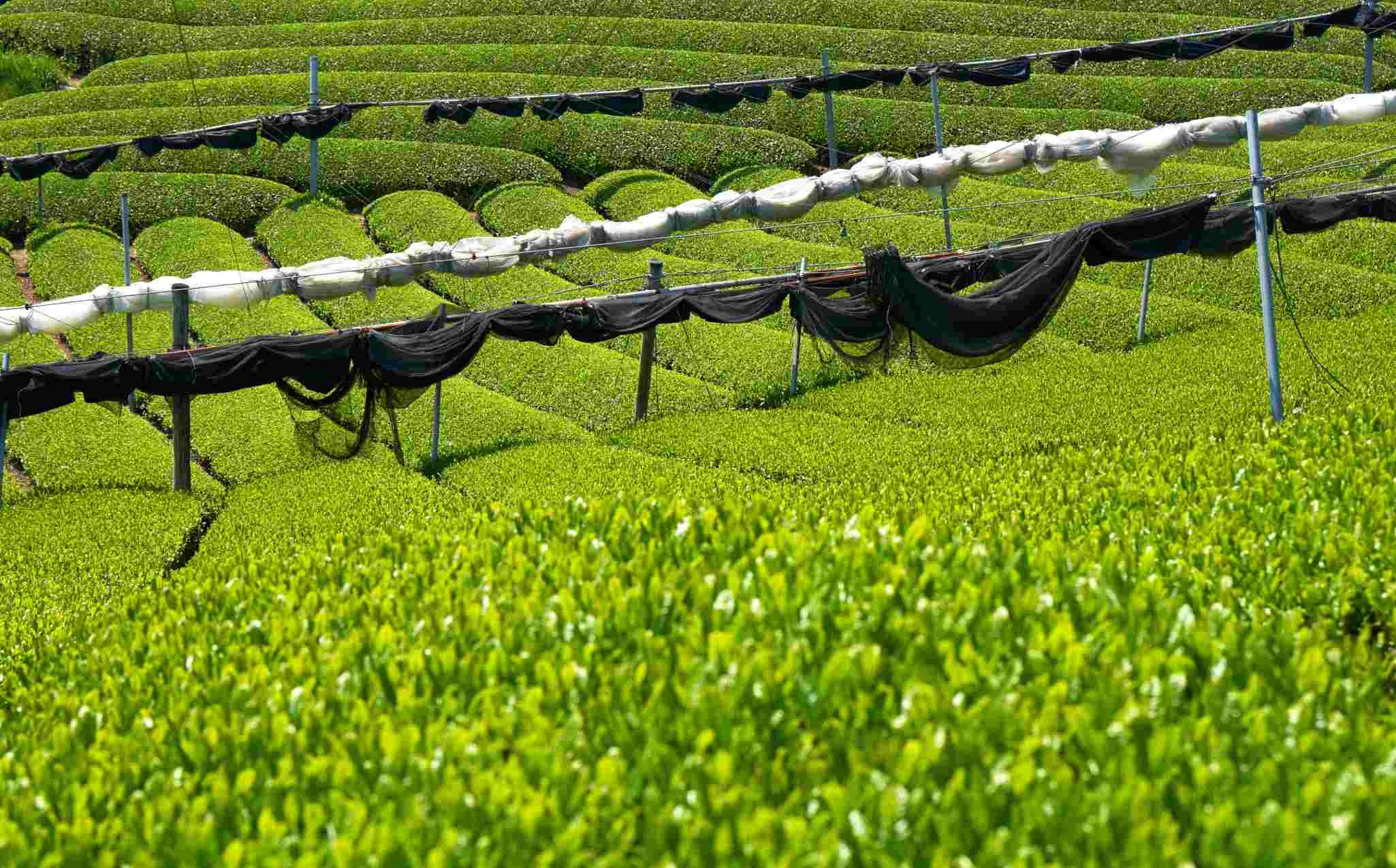 Uji Tea Plantation
