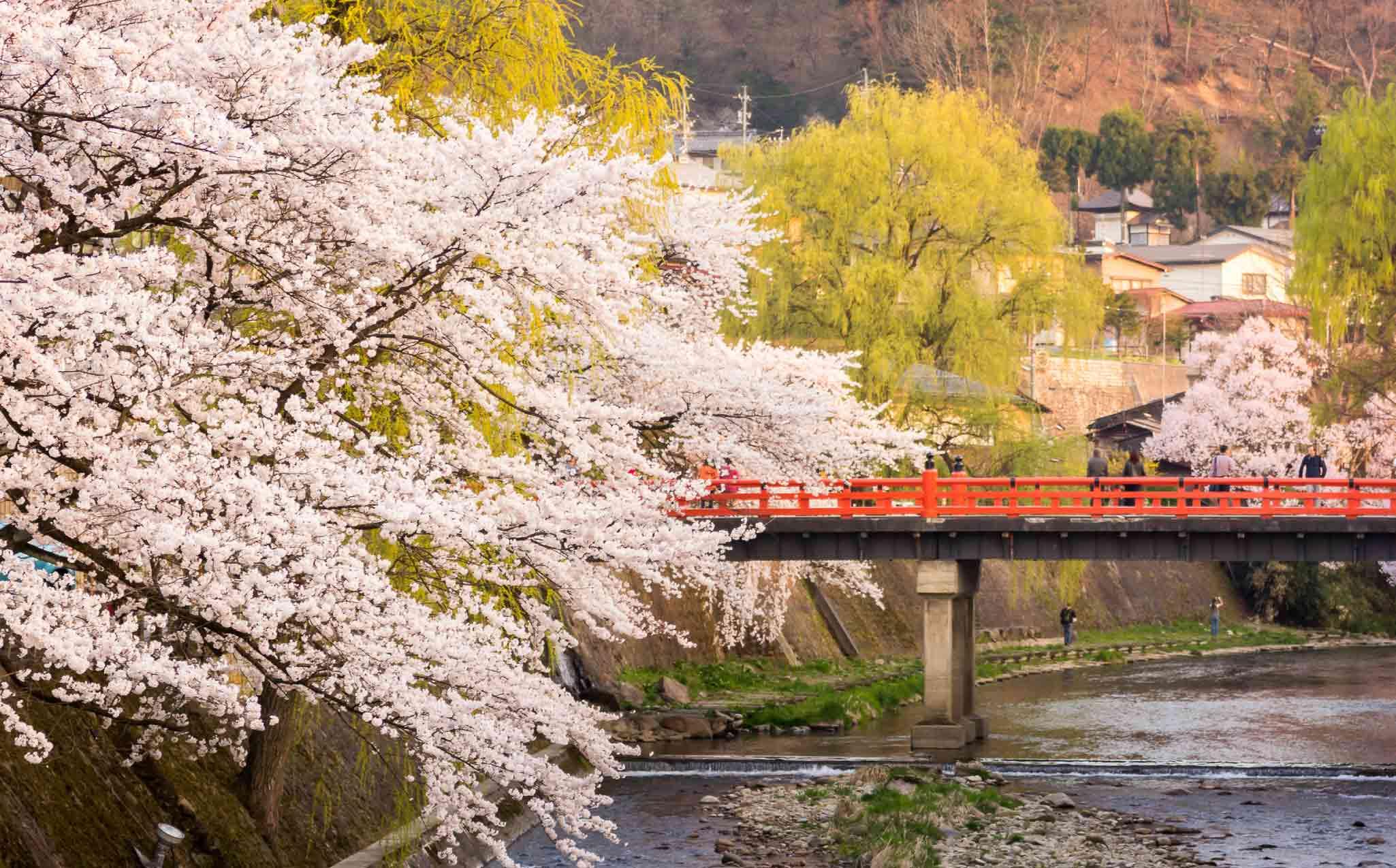 Japan Alps Takayama Cherry Blossom