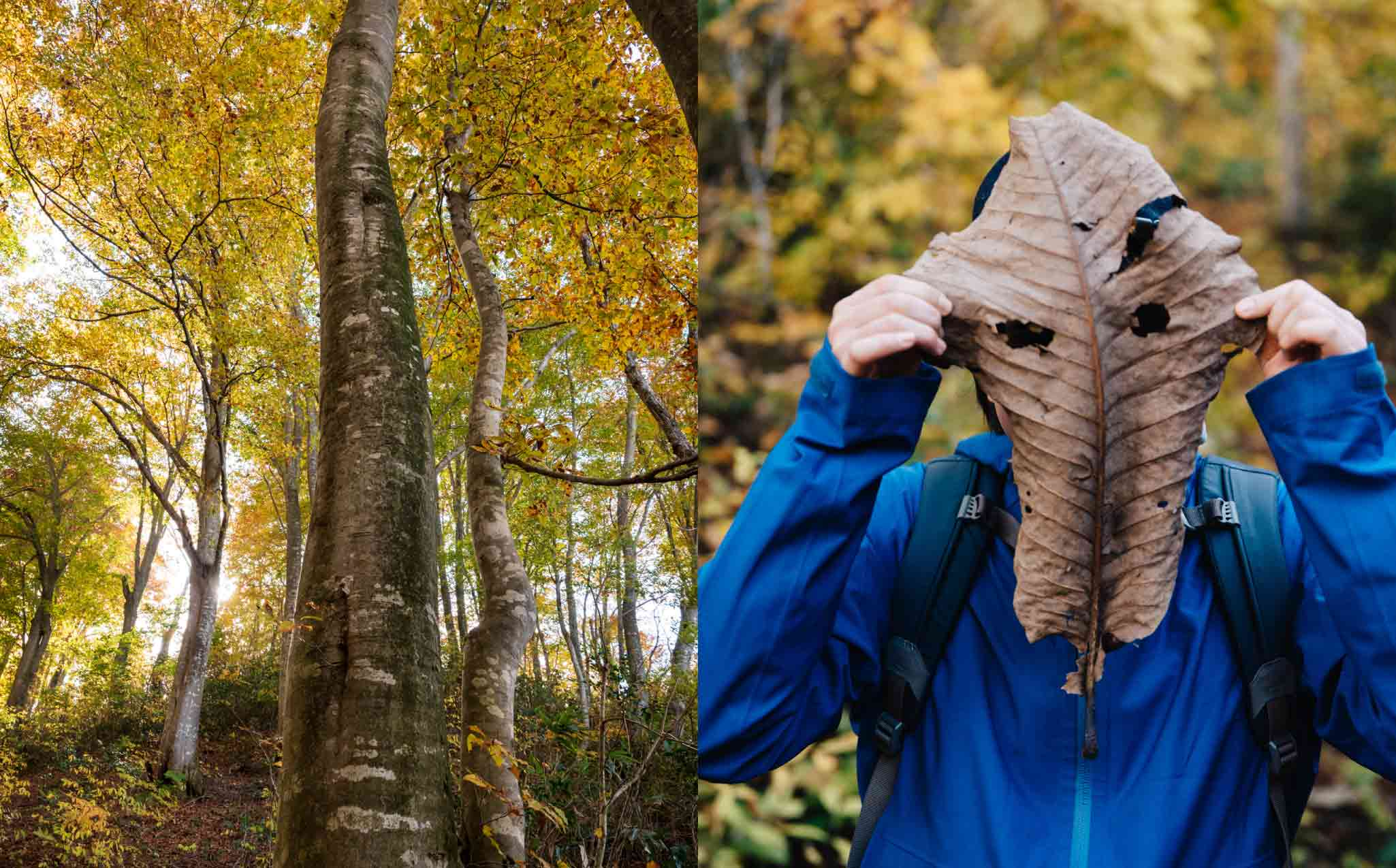 Shinetsu Trail Beech Forest