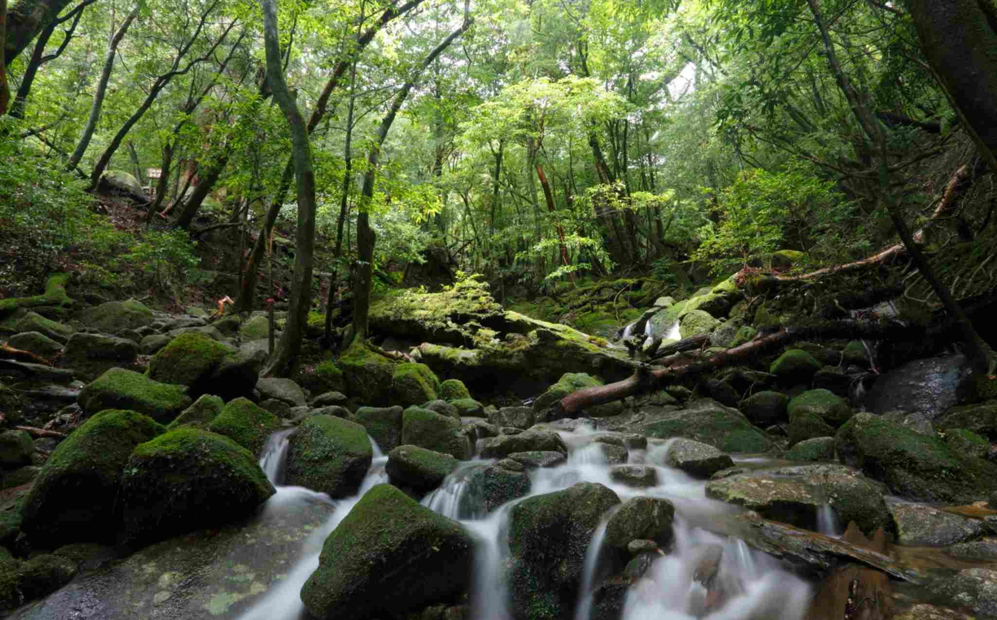 Yakushima Yamatosugi Trail Walk