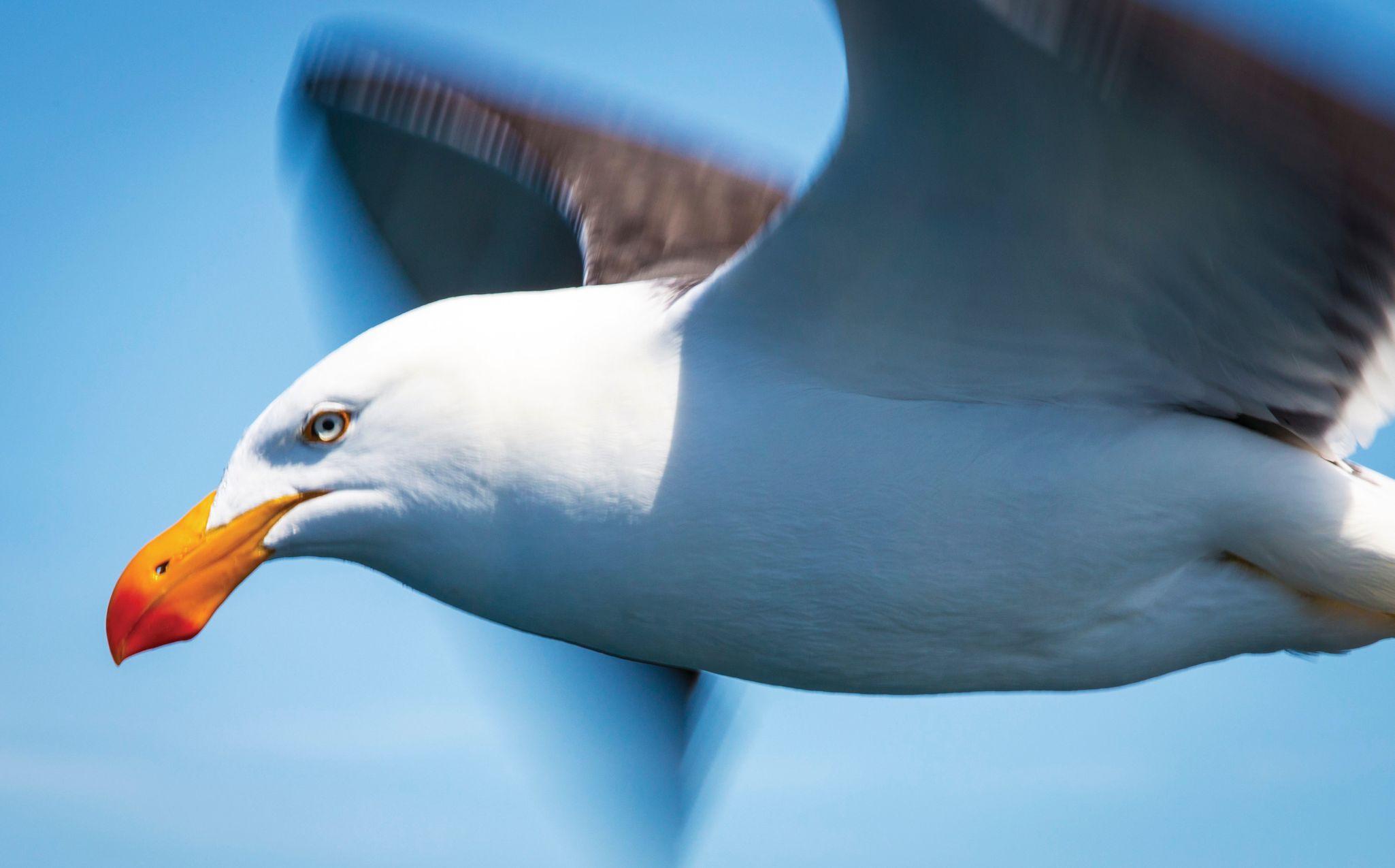 Tasmania Seabird