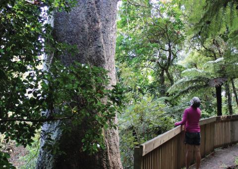 Coromandel Kauri Groves Walk