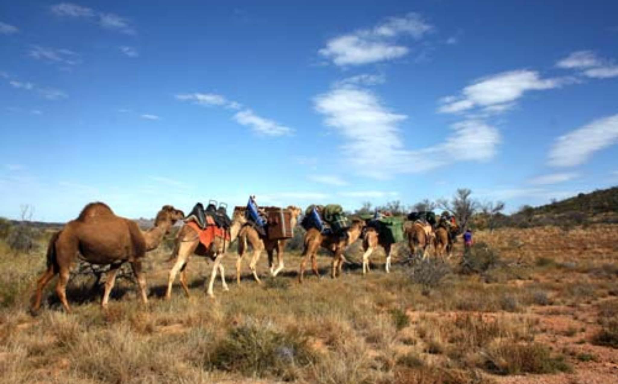 Flinders Rangers Walk Camel Train